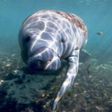 Søkøer er godmodige af natur, og denne her kan ligefrem lide at have kontakt med mennesker.