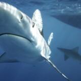 Når man forventer, at skulle svømme med delfiner, bliver man forståeligt overrasket, hvis man i stedet møder sådan én her.