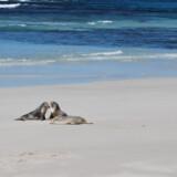 Man kan fodre kænguruer og wallabies – deres mindre fætre – i Hanson Bay Wildlife Sanctuary.