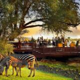 Zebraer græsser i haven, mens hotellets gæster indtager frokosten.