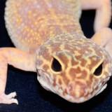 10 albino-leopard-gekkoer er blevet forsøgt smuglet ind i Norge. Her ses en leopard gekko, som dog ikke er albino.