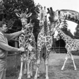 Adam Wilhelm Josef lensgreve Knuth skabte i 1969 Knuthenborg Safaripark. Her viser han girafferne frem.