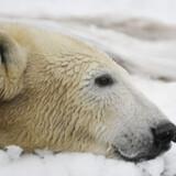 Isbjørnen Knut ligger i sneen i Berlins Zoo.