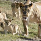 Løvemor med fem ud af de seks små.