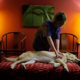 På det amerikanske hundehotel i Florida er massage på værelset bare en af de muligheder, den firbenede kan forkæle sig selv med.