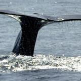 Rejseliv guider dig til tre steder, hvor du kan opleve hvaler.