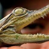 Det var en krokodille magen til denne, der optrådte som blind passager på flyet til Cairo.