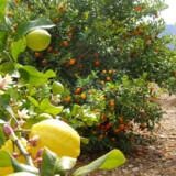 Nonneklosteret ligger i nærheden af en yndig citron- og appelsinlund.