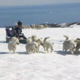 Slædehundene er ivrige efter at komme afsted på turen hen over isen.