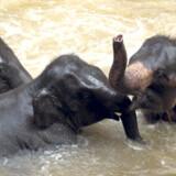 Thailand er som bekendt lig med elefanter, og et af de steder, hvor man kan opleve, hvad de store dyr er i stand til at lære, er i Maesa Elephant Camp en times kørsel nord for Chiang Mai.