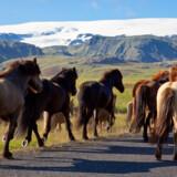 Den lave valuta og den islandske natur trækker rekordantal turister til