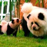 Dahe Pet Cultural Park i byen Zhengzhou har tiger- og pandahunde.