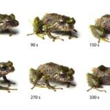 En oversigt over de forskellige variationer i frøens udseende, som hjælper den til at camouflere sig mod fjender.