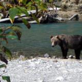 Det er muligt at komme i så meget nærkontakt med bjørnene i den canadiske vildmark, at man kan lugte dem. Og rovdyr lugter ikke just af roser.