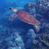 Fiskene er begyndt at vende tilbage til havet omkring Apo Island, efter dynamitfiskeriet blev forbudt, så hvis man dykker for at stifte nye bekendtskaber med de større fisk, er stedet et godt udgangspunkt.