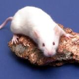 Der er før blevet lanceret medicinalprodukter på trods af observationer om øget kræftrisiko ved dyreforsøg.