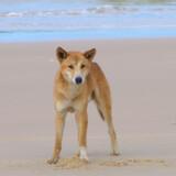En enlig dingo på stranden på Fraser Island.