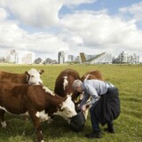 Miljø og klima er vigtigt for københavnerne, når de skal stemme ved kommunlvalget til november. Billedet er af et kogræsserlaug ved NaturcenterAmager, som passes af 100 københavnske familier.