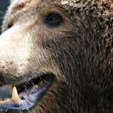 En brun bjørn viser tænder