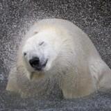 En isbjørn ryster vandet i sig i en zoologisk have i Quebec i Canada. Ny forskning afslører nu nye hemmeligheder om isbjørnens artshistorie.