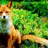 Klik på billedet og se fakta om ræven på landet og i byen