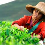 85 pct. af alle danskere drikker te. Nu arrangeres den første terundrejse - med teplukning sammen med de kinesiske plukkere.