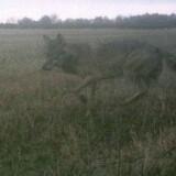 Ulven er nu også blevet spottet i Sønderjylland. Billedet er blevet forelagt den tyske biolog og ulveekspert Ilka Reinhardt, Wildbiologisches Büro LUPUS, og hun bekræfter, at det er en ulv.