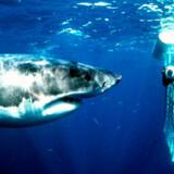 Vi spejdede desværre forgæves efter den hvide kæmpe på vores dyk – der er ingen garantier, når det handler om naturferier.