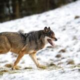 ARKIVFOTO af en ulv i Københavns Zoo.