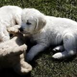 Hunde under to år er i høj risiko for at blive smittet med parasitten hjertelungeorm, der kan slå hundene ihjel, hvis det ikke opdages i tide.