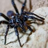 Verdens ældste edderkop er død. Arkivfoto