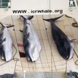 Japanske skibe har landet 177 hvaler under en årlig hvalfangertur i det nordvestlige Stillehavet, oplyser Japans fiskeriministerium. Det sker trods en international aftale om forbud mod kommerciel hvalfangst.