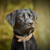 Hunden Seeker er en formel 1 labrador. Det betyder, at hun ikke er særligt stor, så hun kan blive løftet op til loftet for at snuse. Asap