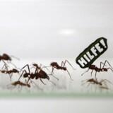 En pæn portion af myrerne i en koloni har det bedst med ikke at blive bedt om at arbejde for hårdt. Billedet her stammer fra Kölns zoologiske have, 18 august 2015 i forbindelse med en kampagne for World Wild Fund for Nature (WWF).