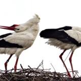 En vild stork har bosat sig på Djursland, hvor den nu overvintrer. Danmarks storkepar Ida og Emil, som har rede nær Roskilde, overvintrer også.