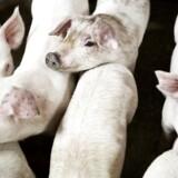 Tallene dækker perioden fra 1. juli til slutningen af september. Her blev der produceret otte millioner svin, en stigning på 2,1 procent i forhold til samme periode i 2015.