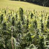Canada følger i sporet på Uruguay, der også har indført en landsdækkende legalisering af cannabis.