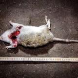 Kongens Have oplever problemer med rotter, og rottefængere har været nødt til at tage rifler i brug for at komme problemet til livs. Berlingske var med, og her ses torsdagens største fangst på 47 centimeter.
