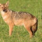 Guldsjakal i det fri. Det hundelignende dyr er beslægtet med både ulven og ræven og står bag en stor del af de angreb på husdyr, som ulven ellers mistænkes for. Billede taget fra FB med tilladelse fra fotograf.