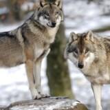 Arkivfoto. Danmarks første ulve blev formentlig født syd for Holstebro og kan dermed bryste sig af at være jyske.