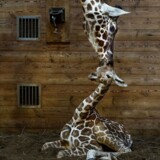 Den nye giraf-unge i Zoo.