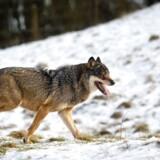 De første ulve i Danmark i 200 år kom fra Tyskland. (Foto: Lars Rasborg/Scanpix 2017)