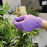 Arkivfoto. Rygmarvsskadet ønsker ikke at lægeshoppe for at anvende medicinsk cannabis.