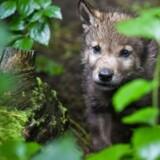 I 2012 kom de første ulve spadserende fra Tyskland. Nu er der hvalpe, og det er ifølge ekspert »kæmpestort«.