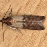 Melmøl og larver mæsker sig gerne i tørvarer som gryn, korn og mel. Free/Wikimedia Commons / Gnu Free License