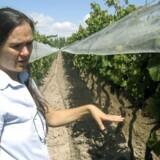 Andrea Marchiori, ejer af Vina Cobos i Perdriel, Mendoza.