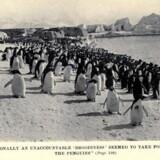 »Lejlighedsvis blev pingvinerne grebet af en uforklarlig skrukhed.« Billede og tekst fra Levicks bog om adeliepingvinernes sociale liv, 1914.