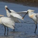 Skestorke. Arten er gået frem i Danmark de senere år og talte i juli 2017 mindst 331 ynglepar. Free/Jan Skriver/dansk Ornitologisk Forening (dof)