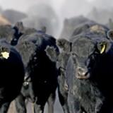 Kvæg og andre af menneskers husdyr udgør omkring 60 procent af den samlede vægt af pattedyr på kloden. Her anguskvæg fra Argentina.