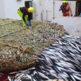 Global opvarmning ændrer på økosystemer og fisk. Stigende havtemperaturer og klimaforandringer har de seneste somre fået tykke makreller til at svømme helt til Østgrønland. Det har ført til et nyt og økonomisk meget vigtigt fiskeri.